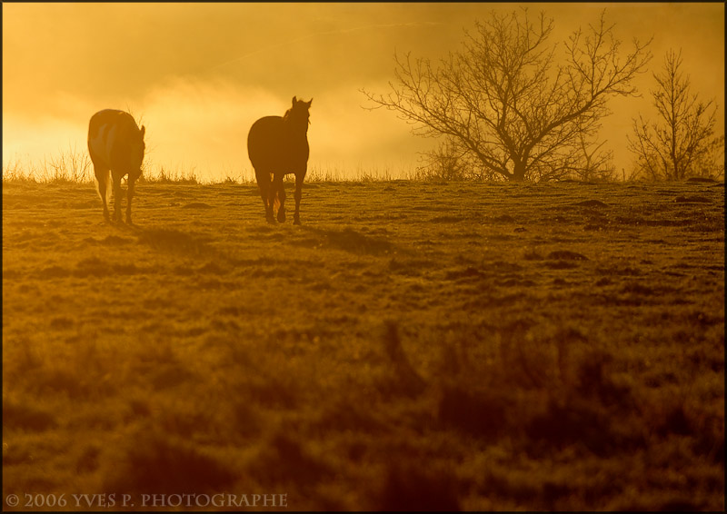 Horses in the morning light ...
