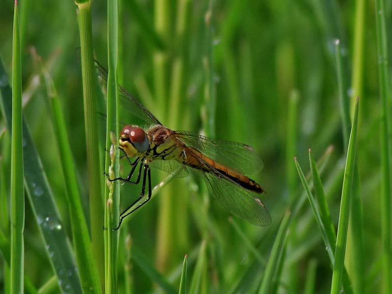 Vandrande ängstrollslända<br> Red-veined Darter <br>Sympetrum fonscolombii