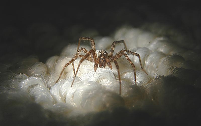 Greater European House Spider