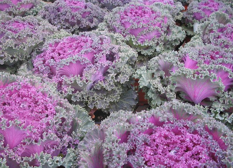 ornamental cabbage1