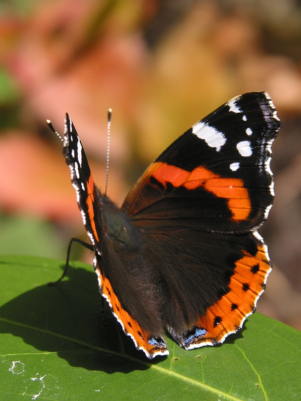 Butterfly in October