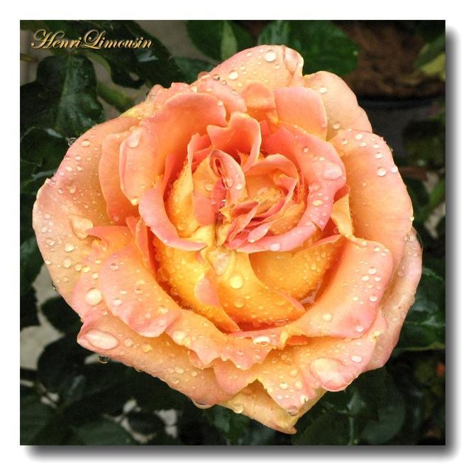 Rose apres la pluie.jpg