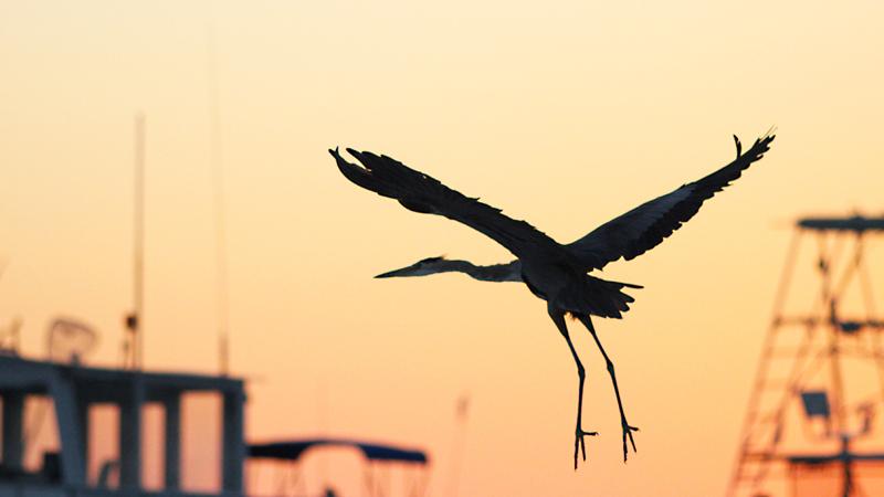 Bird flight at sunset