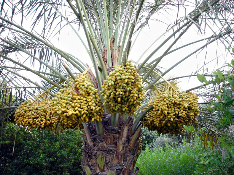 Dates and Palm