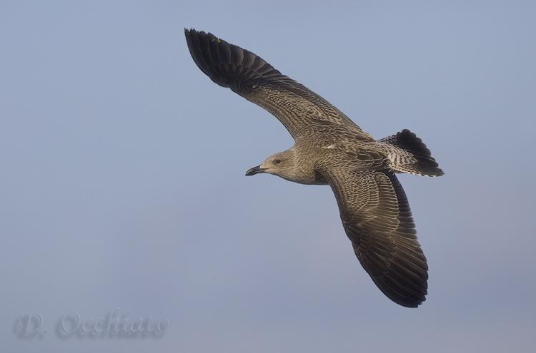 Lesser black-backed Gull (Larus fuscus)??