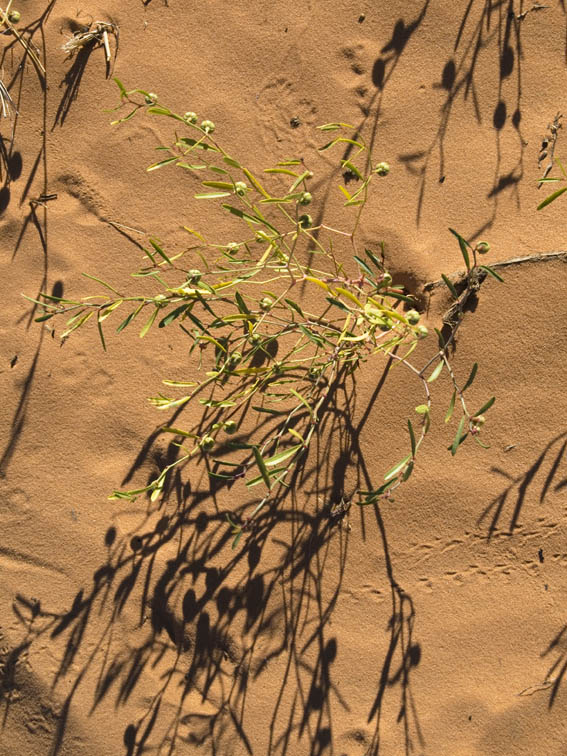<B>Dunes Greens</B><BR> - Coral Pink Sand Dunes State Park, Utah