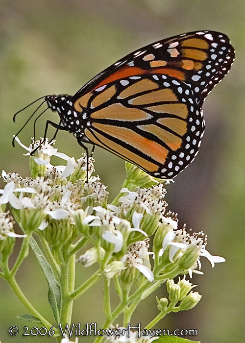 Monarch profile