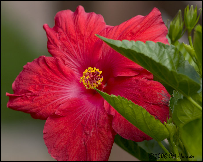 4919 Hibiscus.jpg