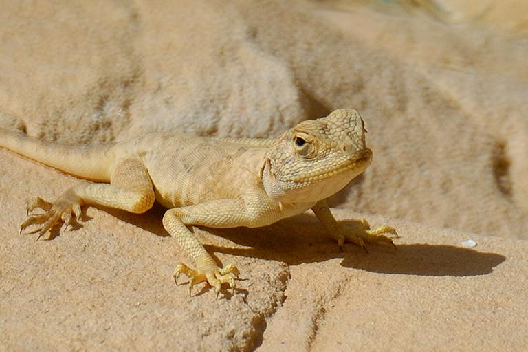 Image result for desert lizard