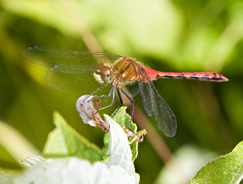 Whitefaced[?] Meadowhawk