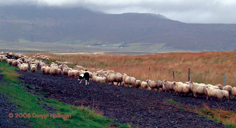 Icelandic sheep with sheepdog