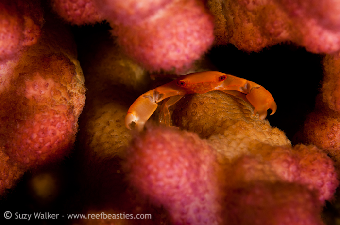 Crab in coral