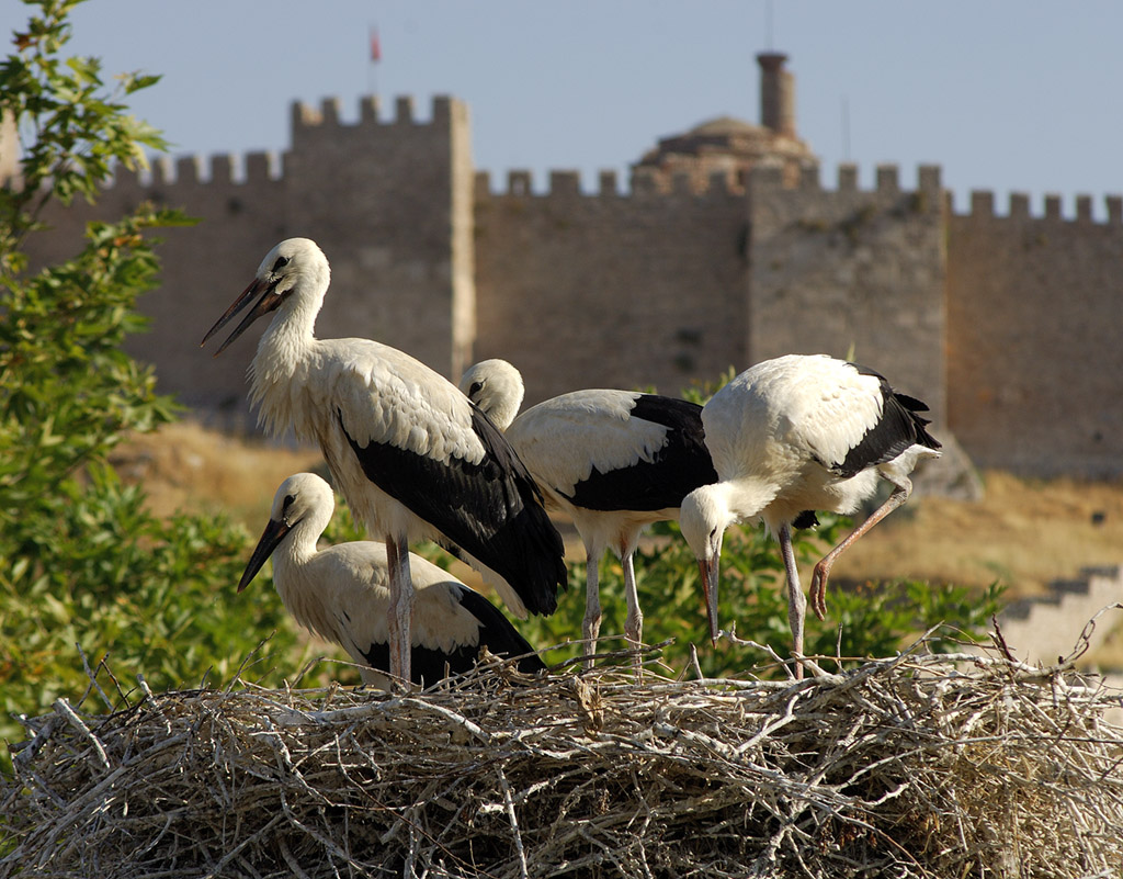 north african storks