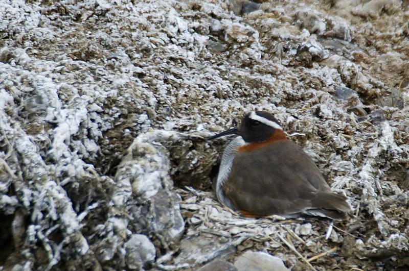 Diademed Sandpiper-Plover on nest