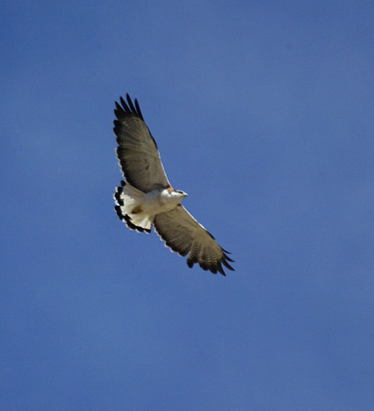 Variable Hawk adult
