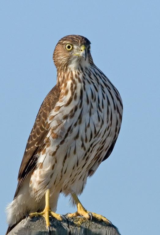 Sharped-shinned Hawk, Baylands