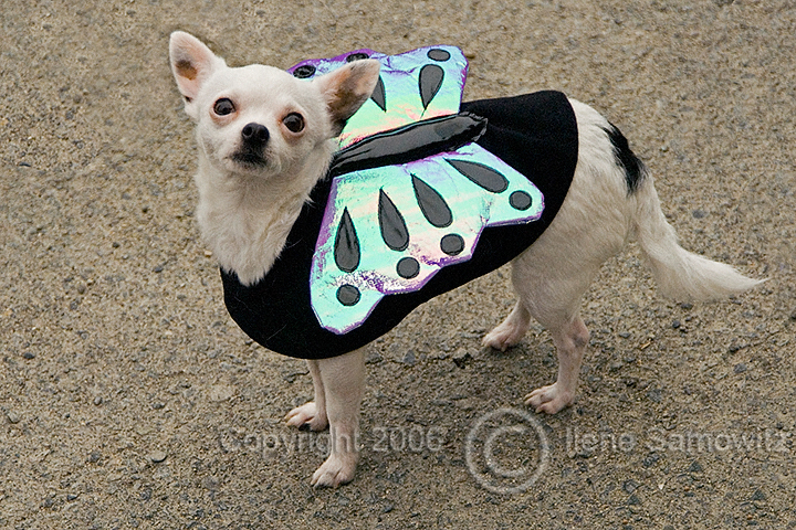 Butterfly Chihuahua