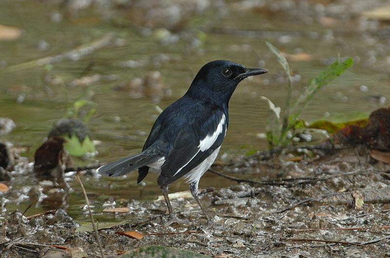 Robin, Oriental Magpie (male) @ Mutiara