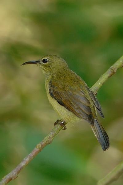 Sunbird, Crimson (female) @ Hindhede