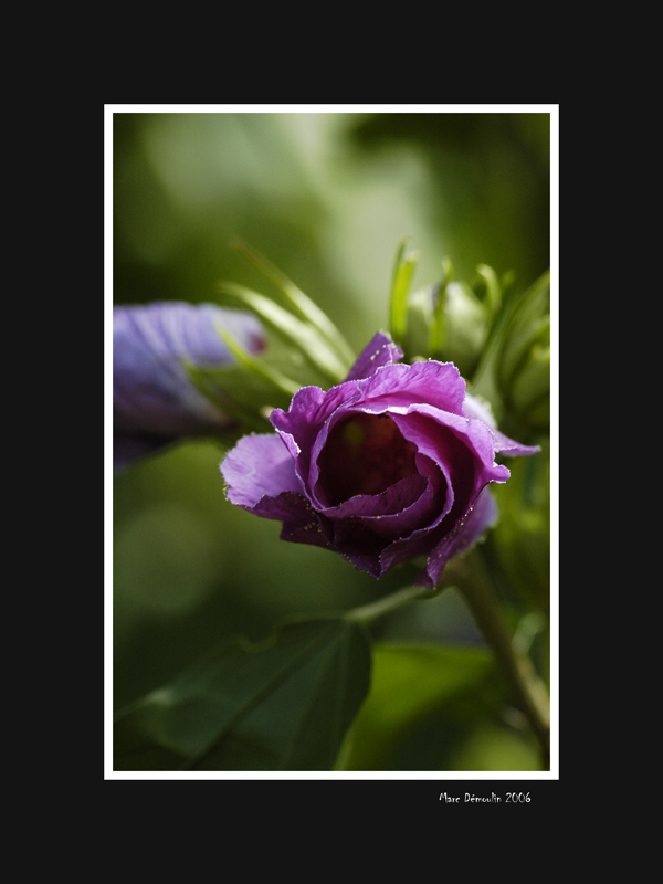 Between bud and flower