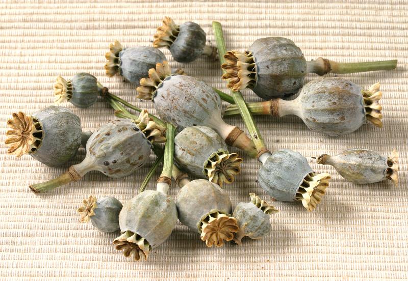 Poppy seed heads (<i>Papaver somniferum</i>)