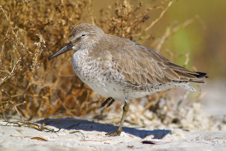 Red Knot at rest