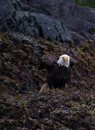 Telegraph Cove Eagle.jpg