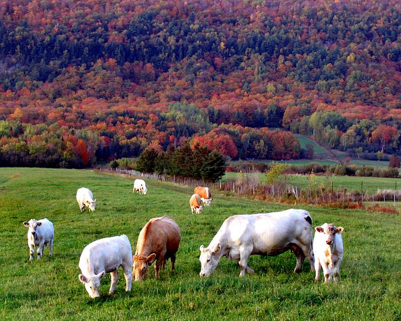 les vaches dautomne