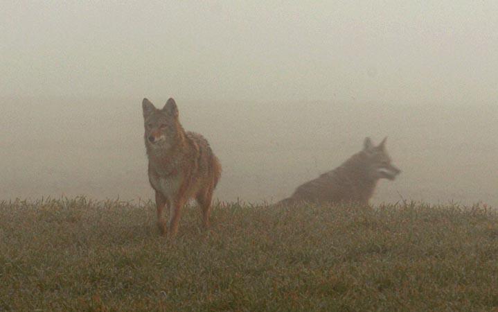 Coyote in Fog