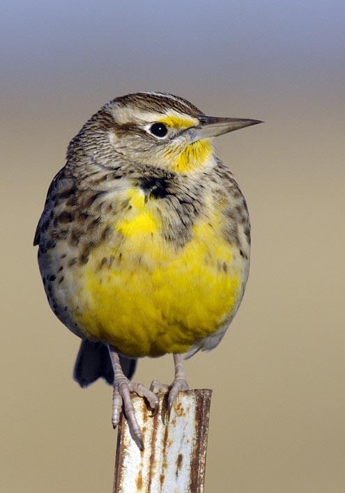 Field Meadowlark
