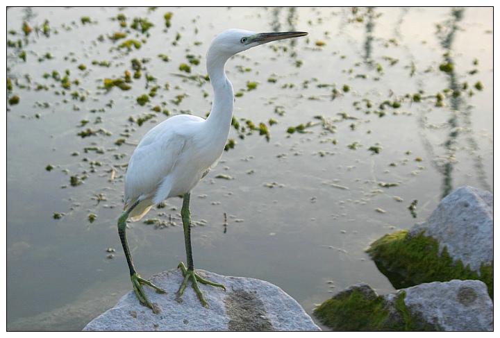 Little Egret II