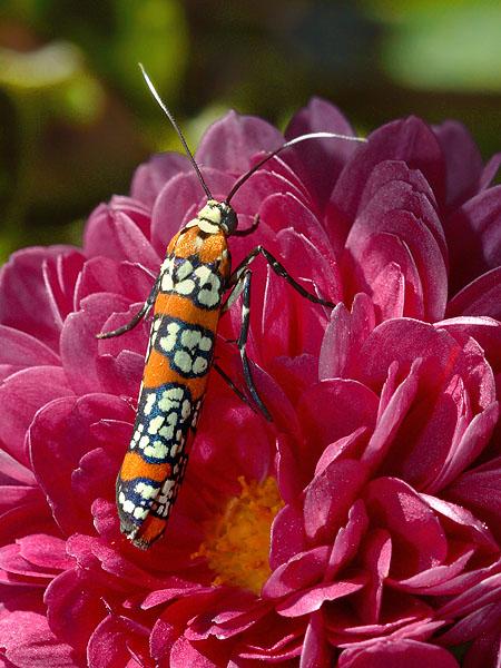 Ailanthus webworm moth, Atteva punctella