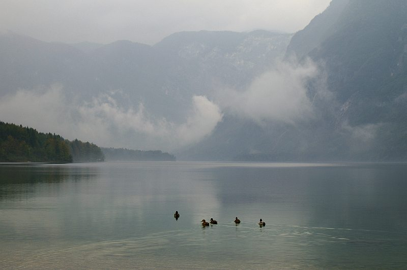 Ducks on Lake Bohinj