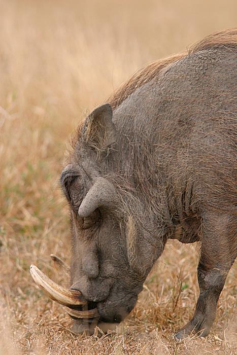 MM Male warthog (I think).  Just a little piggy.