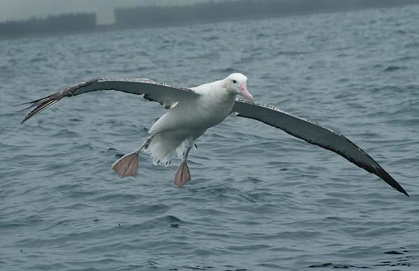 Snowy (Wandering) Albatross