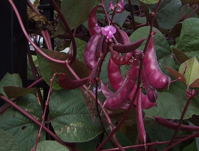 1752 Seed Pods