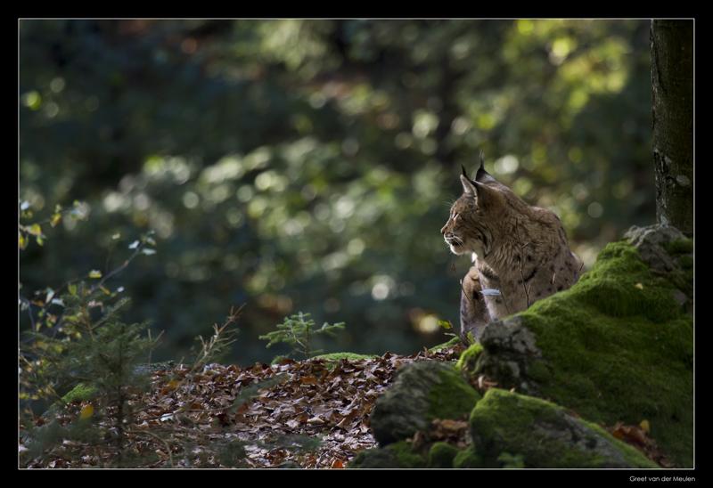 0184p lynx (C)