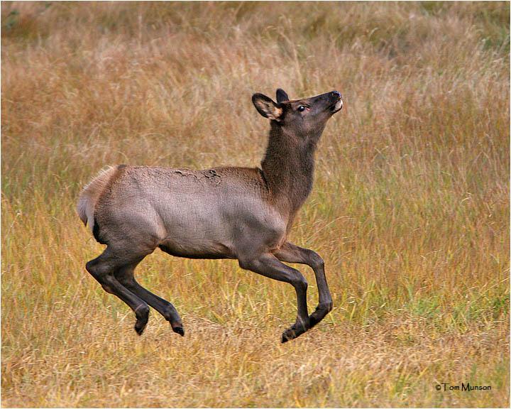Elk (calf)