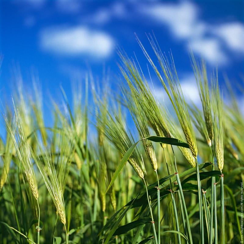 In The Green Field