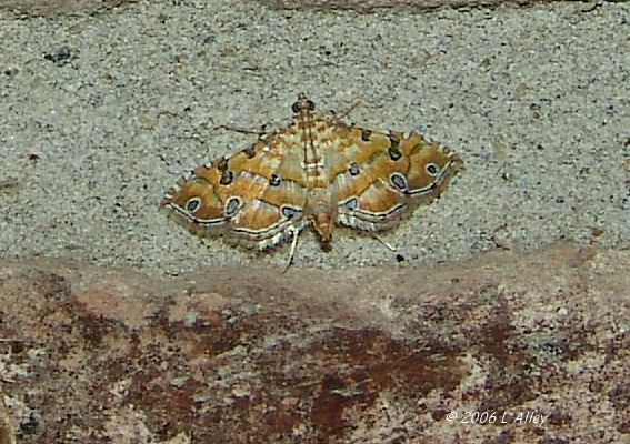 Ommatospila narcaeusalis - Hodges # 5294