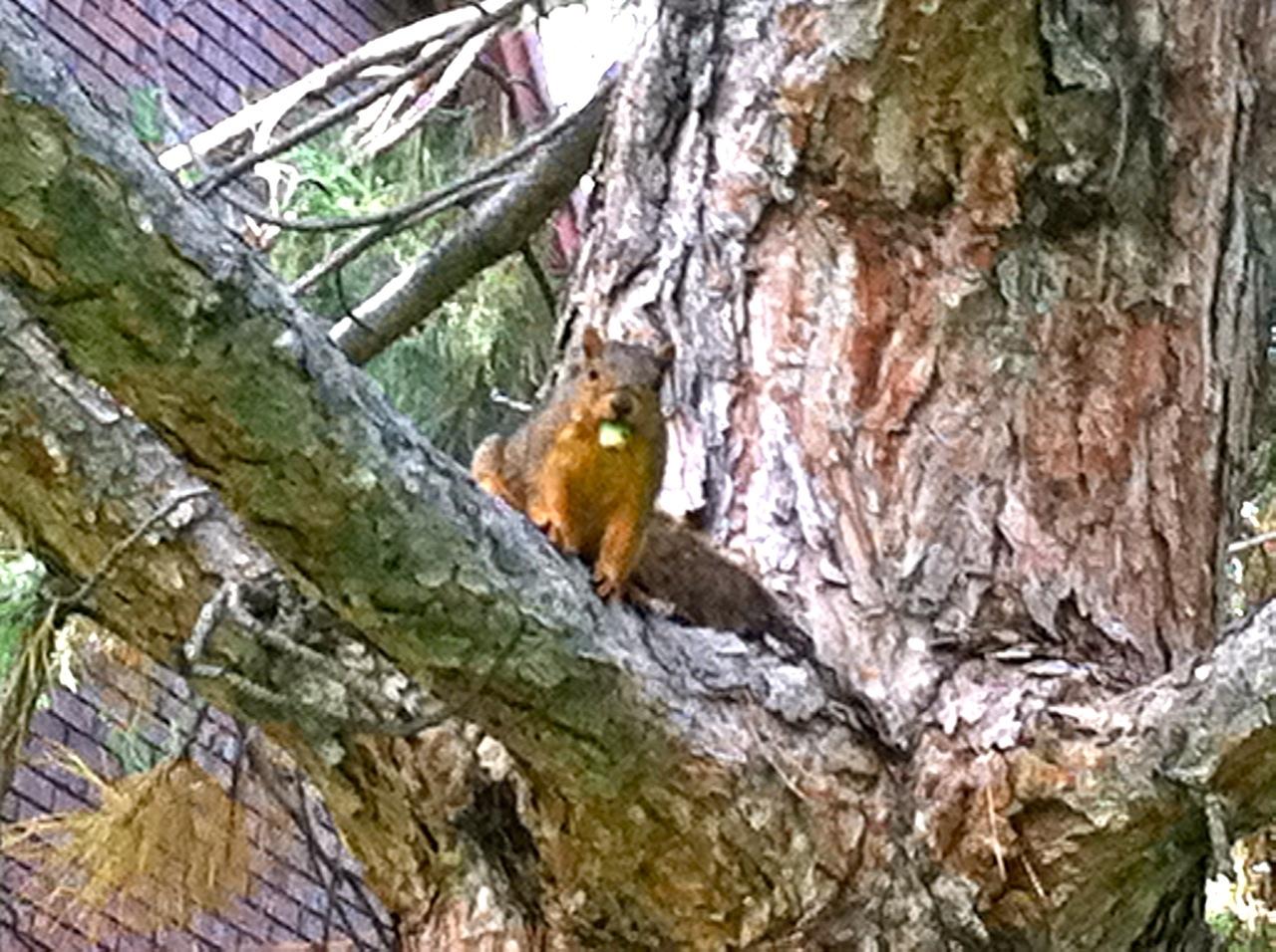 iPhone squirrel ISU IMG_1840.jpg