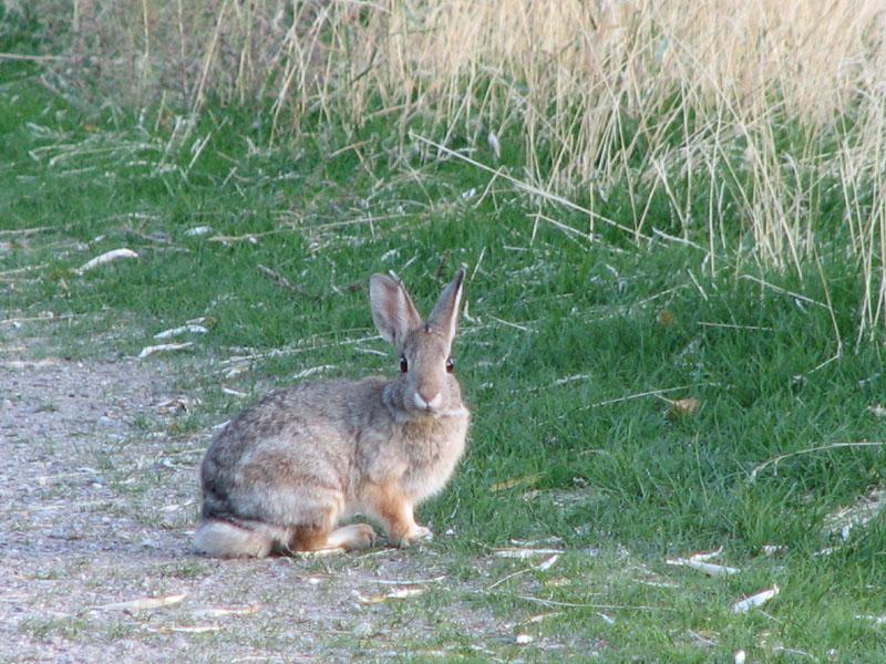 Red Hill Bunny smallfile IMG_1116.jpg
