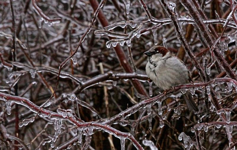 Ice Storm 16