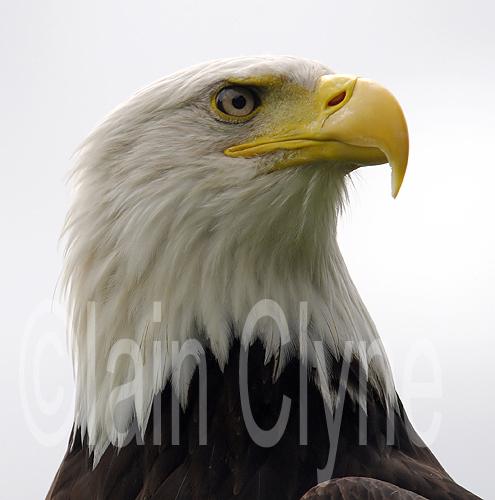 Bald eagle001C.jpg