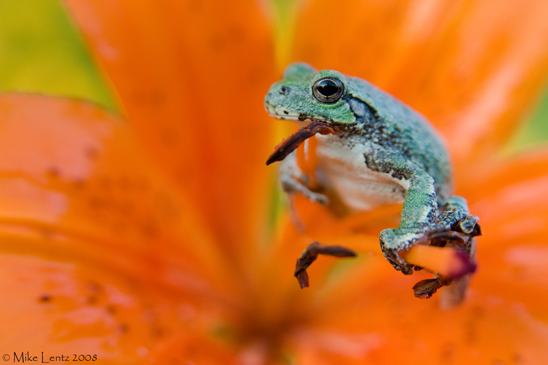 Copes gray tree frog on Tiger Lilly