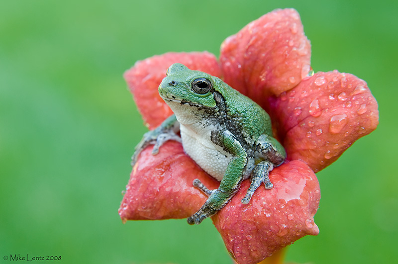 Copes GTF in trumpet flower
