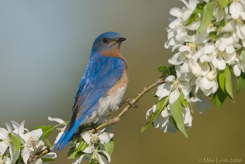 Bluebird in the flowers