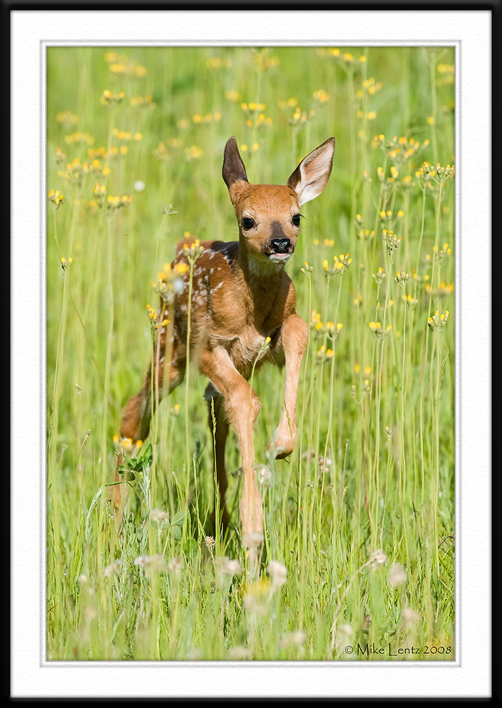 Fawn bounds in yellow flowers