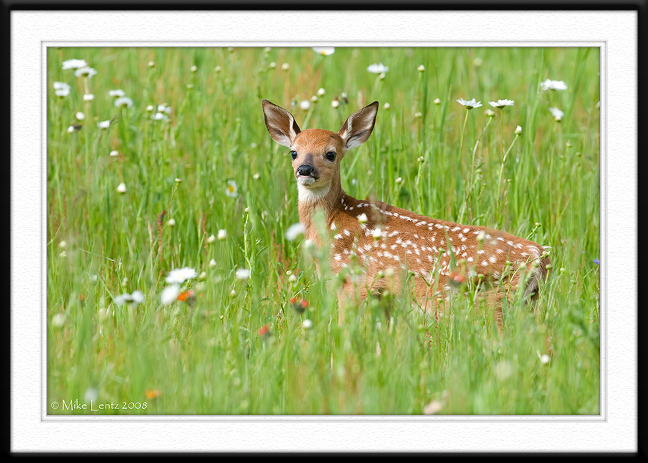 Fawn on the lookout
