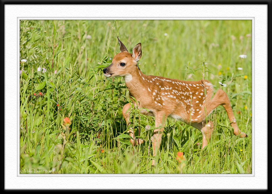 Fawn strolls through grass
